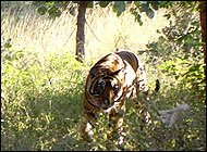 Tiger Ranthambore Wildlife Tour Packages Rajasthan Wildlife Travel
