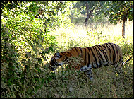 Tiger Ranthambhor Wildllife Tours India